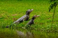 two alligators on land