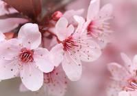 Plum Blossom 1 by David Kocherhans
