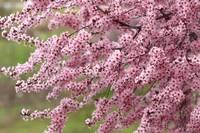 Blossom Boughs by David Kocherhans