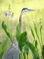 Great Blue Heron and Arrowhead Flowers