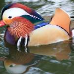 """Mandarin Duck"" by ianjeffrey"