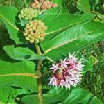"""Botanical - Asclepias Syriaca - Outdoors Floral"" by artsandi"