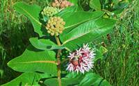 Botanical - Asclepias Syriaca - Outdoors Floral