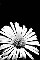 Doronicum Flower in black and white
