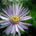 """Early Blooming Aster: My Front Yard"" by Mylene"