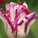 """tulip"" by loreee"