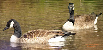Canadian Geese Dont Be Shy Now