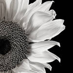 """Sunflower Study in Black and White"" by dawnleblanc"