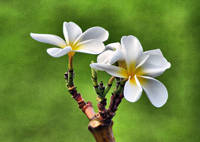 ANOTHER PLUMERIA
