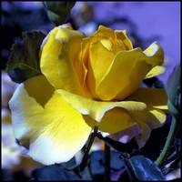 Yello Rose