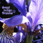 """Sweet Indigo Dreams"" by fizzyimages"
