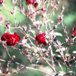 """""""roses"""" by loreee"""