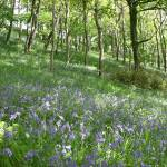 """Forever England! Bluebells in the Spring"" by northdevonfocus"