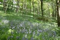 Forever England! Bluebells in the Spring