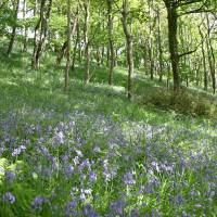 Forever England! Bluebells in the Spring Art Prints & Posters by Pat Adams
