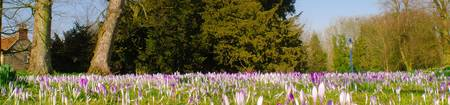 Crocuses in Langton (7 of 1)