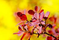 Smoke Bush (1 of 1)