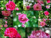 Wild Rose Collage