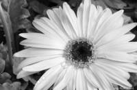 Daisy Desaturated