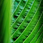 """Hosta Abstract"" by bavosiphotoart"