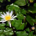 """""""Water Lily"""" by ChrisCrowley"""