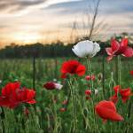 """Evening Poppies"" by jgraber"