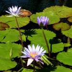 """Lily Pads"" by photographybysharonwoerth"