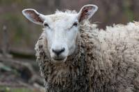 Arrogant white-faced sheep