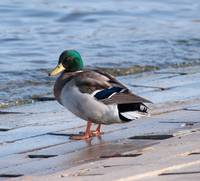 Mallard duck at waters edge