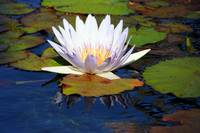Water Lily Impressionism