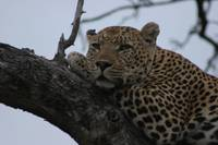 Sated Leopard