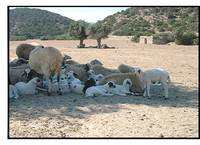 Sheep in shade  N. Cyprus