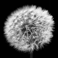 Dandelion Fireworks Art Prints & Posters by Laura Zimmerman