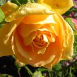 """""""Yellow Rose"""" by PettProjects"""