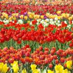 """Tulip Festival Flower Field of Tulips art Baslee"" by BasleeTroutman"