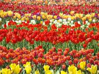 Tulip Festival Flower Field of Tulips art Baslee