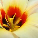 """""""Tulip Flower Creamy Pastel Orange Floral art"""" by BasleeTroutman"""