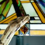 """Boa Constrictor on Tiffany light"" by tonymoran"