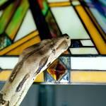 """""""Boa Constrictor on Tiffany light"""" by tonymoran"""