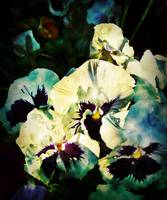 Pansy Dreams