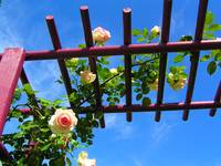 Laura's Rose Trellis 2