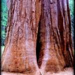 """Giant Sequoia"" by Colene11"