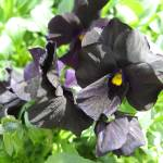 """Black Pansy"" by goddessprophet"