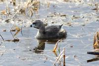 Pied-billed Grebe Duck