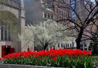 Springtime Tulips in Manhattan, New York City