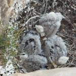 """RED TAIL HAWK CHICKS"" by RLPICTURES"