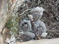 RED TAIL HAWK CHICKS