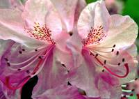 Pink Rhododendron Blossoms