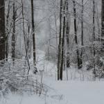 """Snowy Trees"" by nativenerd"