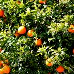 """Orange Tree"" by nativenerd"